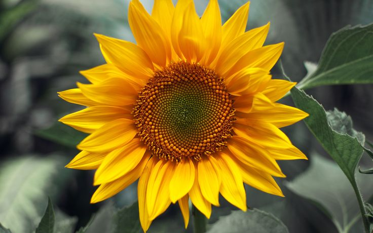 amazing floral photos | Amazing Sunflower « flower pictures by www.hdwallpapersdesign.com