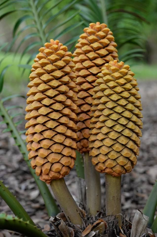 Encephalartos sclavoi male cones at Montgomery Botanical Center.