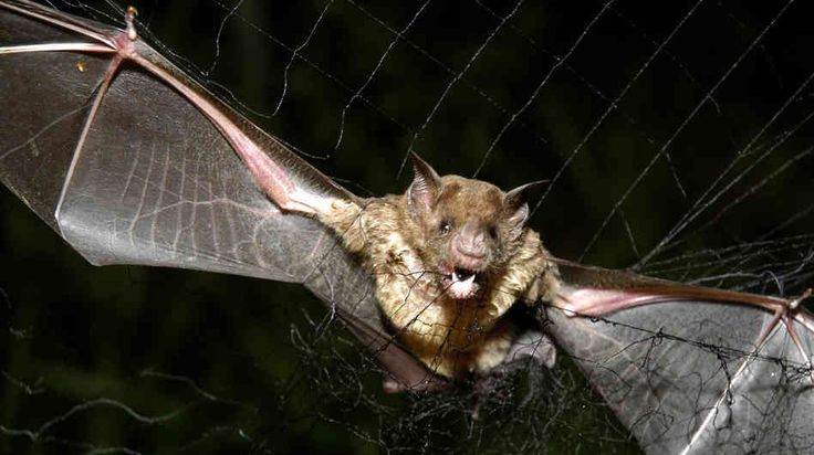 Vampire bats have the ability to detect heat in their surroundings ...