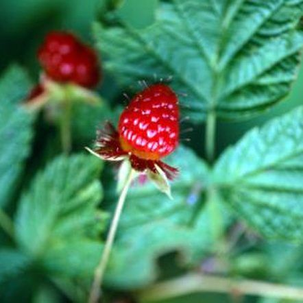 how to grow tulameen raspberry