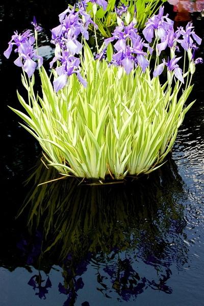 Bog Irises
