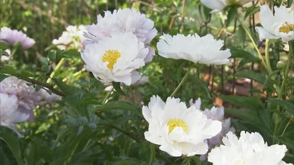 Watch How to Grow Peonies in the Better Homes and Gardens Video