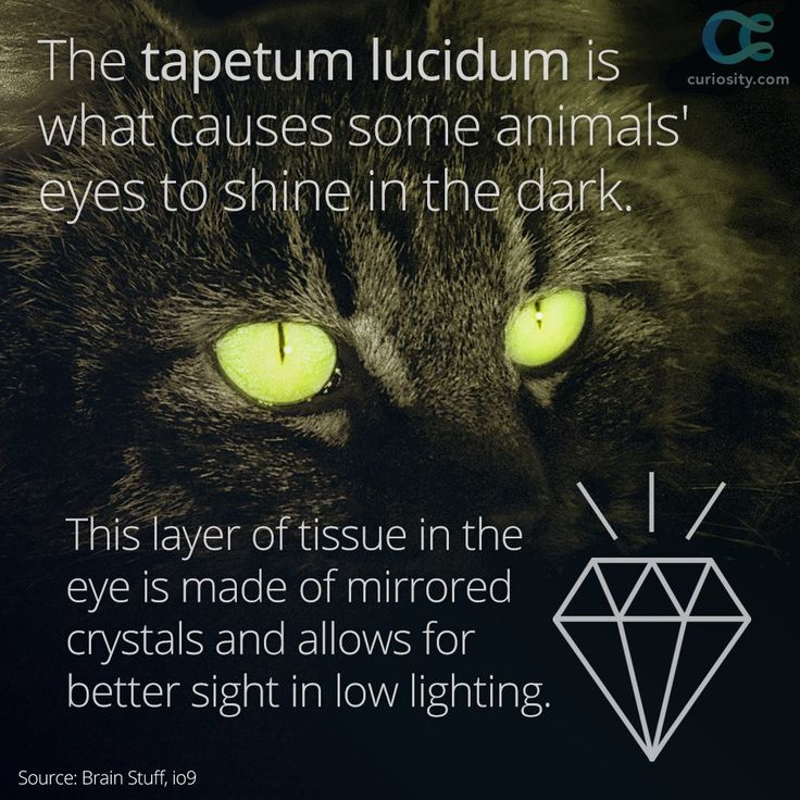 The eyes of some animals appear to shine in the dark. This is due to the tapetum lucidum, a layer of material that helps animals see in the dark—like cats, who can see six to eight times better than humans in dim lighting: https://curiosity.com/video/why-do-some-animals-eyes-shine-in-the-dark-brain-stuff/?utm_source=pinterest&utm_medium=social&utm_campaign=112414shinyeyespin