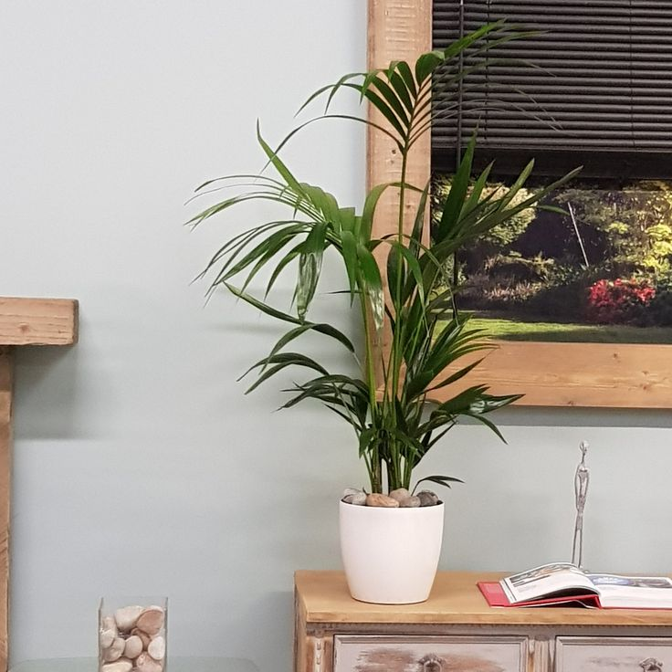 best 25 indoor palms ideas on pinterest big plants big indoor plants and large indoor plants. Black Bedroom Furniture Sets. Home Design Ideas