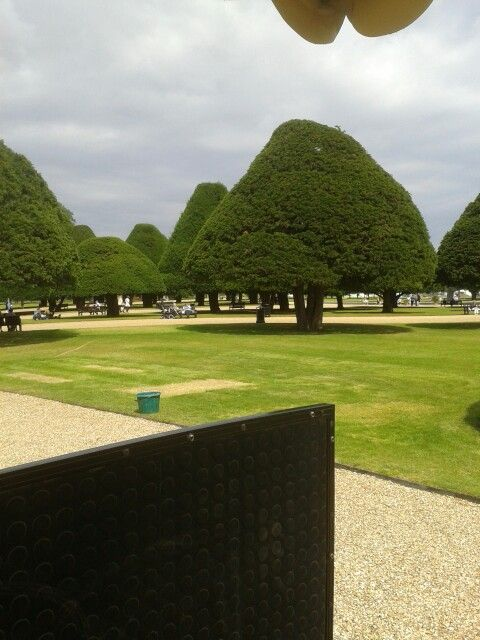 330 year old yews