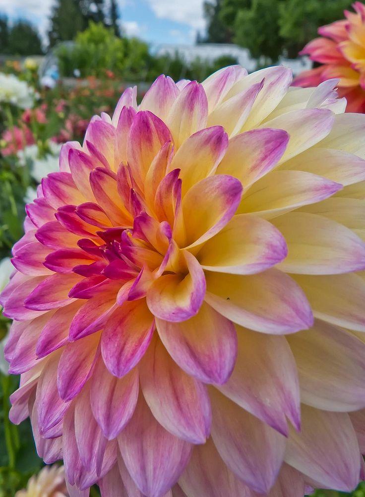 Букет мимозы, оптовая продажа цветов георгин