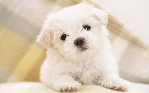 So obsessed! What a cutie!:  Maltese Terriers, Puppies Pictures, Malt Terriers, Little Puppies, Maltese Dogs, Malt Dogs, White Puppies, Malt Puppies, Fluffy Puppies