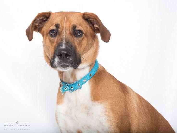 Labrador retriever dog for adoption in franklin tn adn