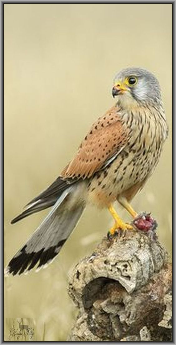 Kestrel / Faucon crécerelle #photo by Gladys Klip on flickr.com