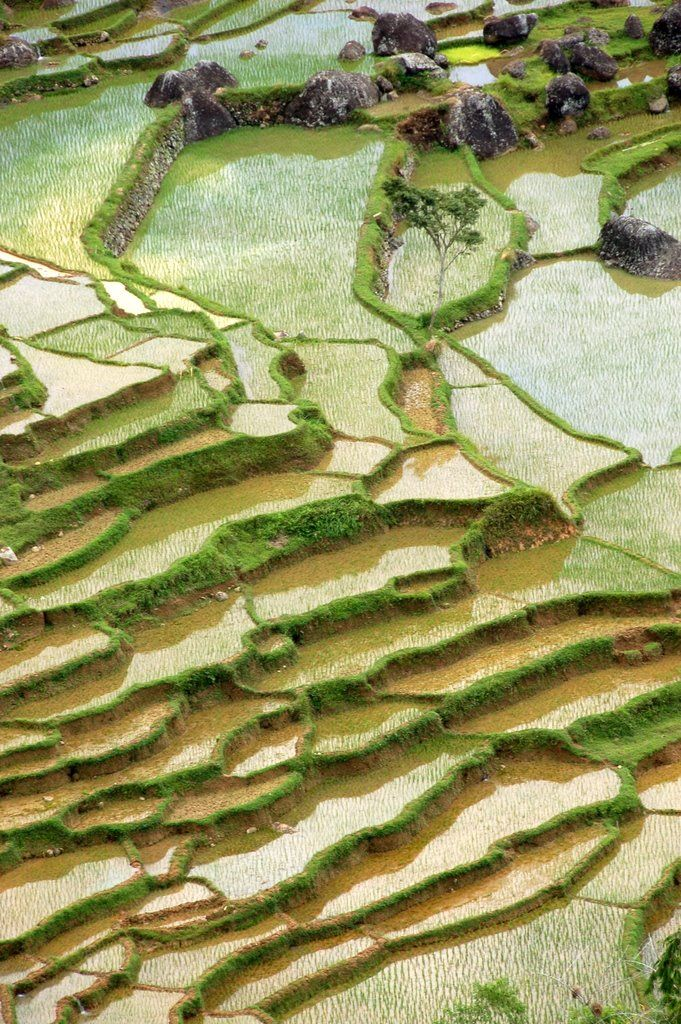 Sulawesi  (Rice)  Indonesia