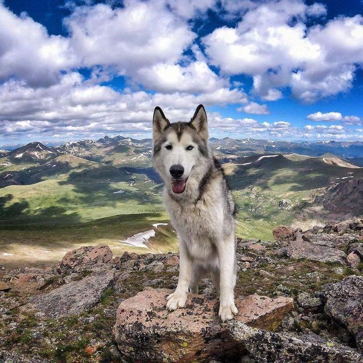 loki-chien-loup-11