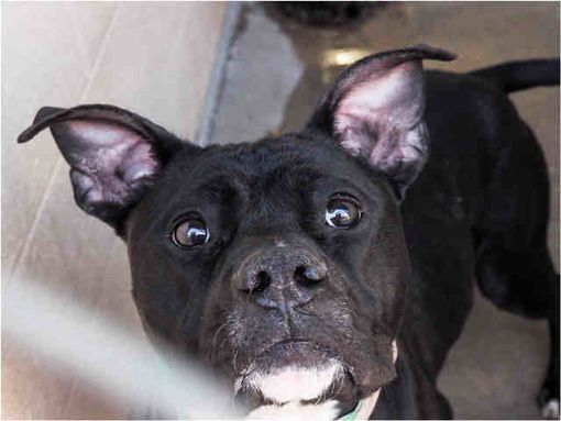 Pictures of MISSIE a American Pit Bull Terrier for adoption in Phoenix, AZ who needs a loving home.
