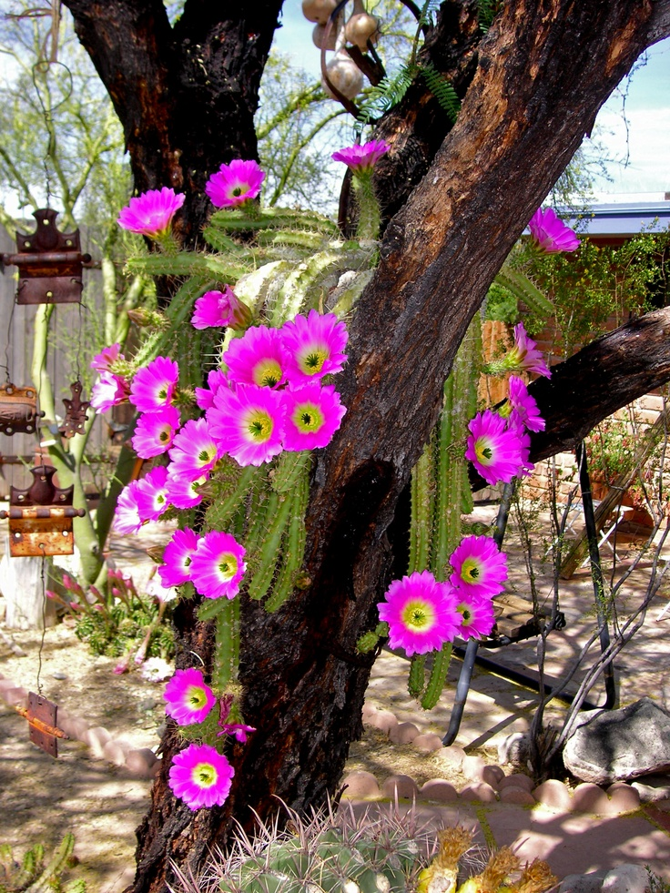 Lady finger cactus (echinocereus pentalophus) in my mesquite tree. Photo by Linda Valdez