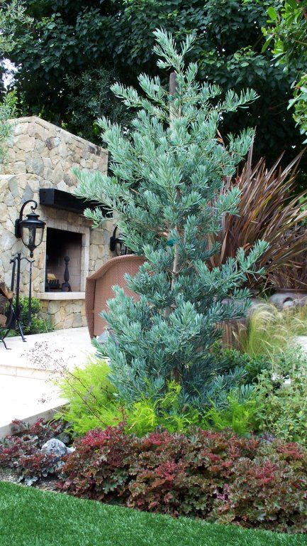 Lovely blue Podocarpus makes a great focal point in this Tuscan-inspired garden. Love the use of foliage color to create year-round, low-care interest. By Roger's Gardens Landscape.