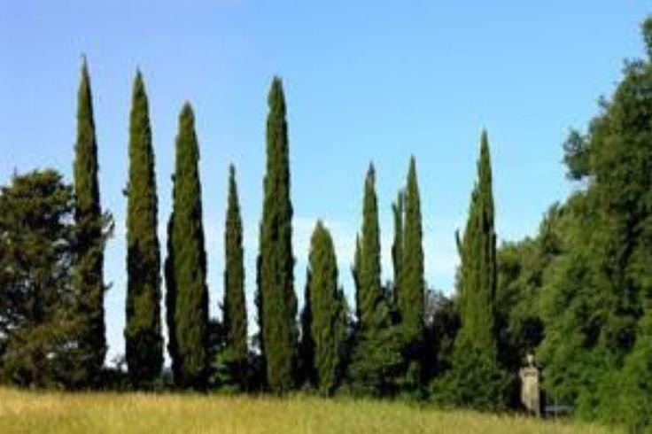 Cypress (Cupressus sempervirens) Organic Essential Oil