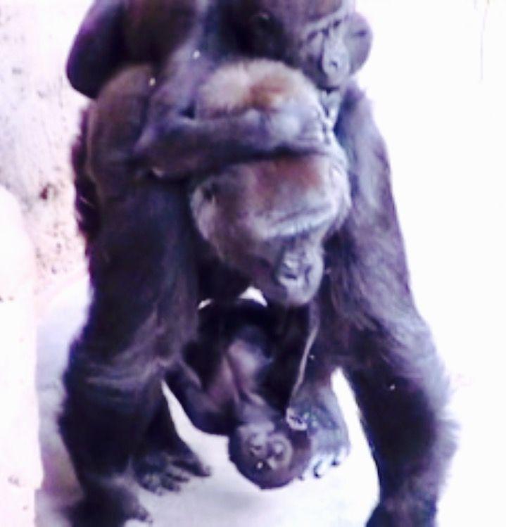 Auntie Kamba, gorillaboy Tatu & baby Kiburi- Prague Zoo.