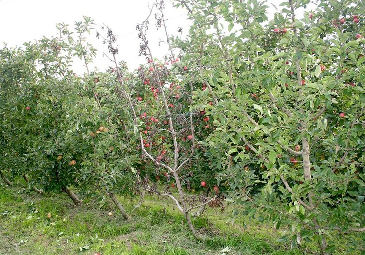 Collar rot and crown rot of apple trees and trunk rot of