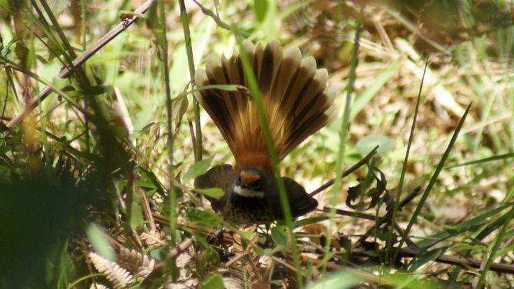 Rufous Fantail(1)1