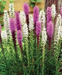 """Blazing Stars Mixed Liatris  Valued for their long blooming 4-5 foot vertical spikes. Rosy rich purple and pure pristine white flowers will give you weeks of enjoyment either in the garden or as a cut flower. The flowers emerge from glossy stems covered with a dark green grass-like foliage. Great for tall borders and for mixed bouquets. Plant them 6-8"""" apart. Bloom August-September. Bulb size 8-10 cm in circumference"""