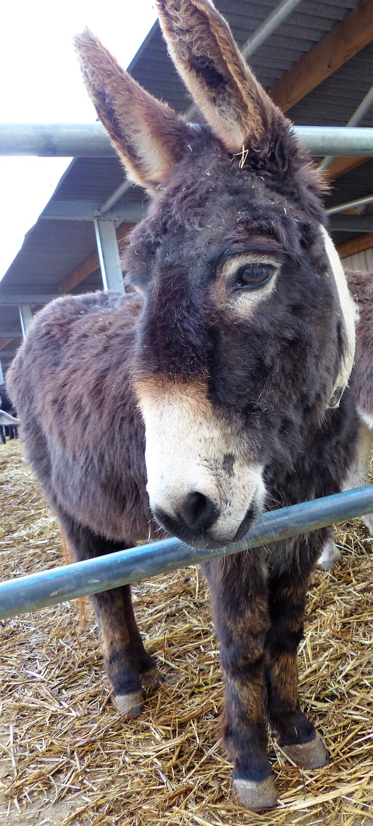 The sweetest delight - Chocolate! @islandfarmdonks. You can adopt Chocolate @ http://www.donkeyrescue.co.uk/adopt-chocolate/