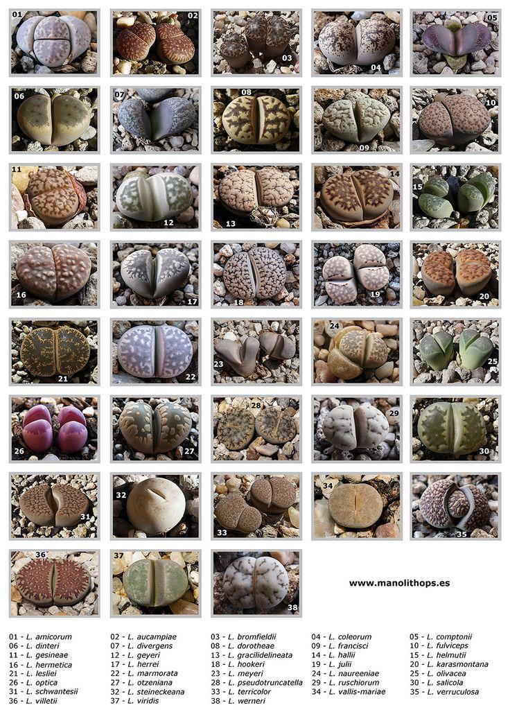 Lithops,Conocidos como piedras vivas, grupo suculentas.