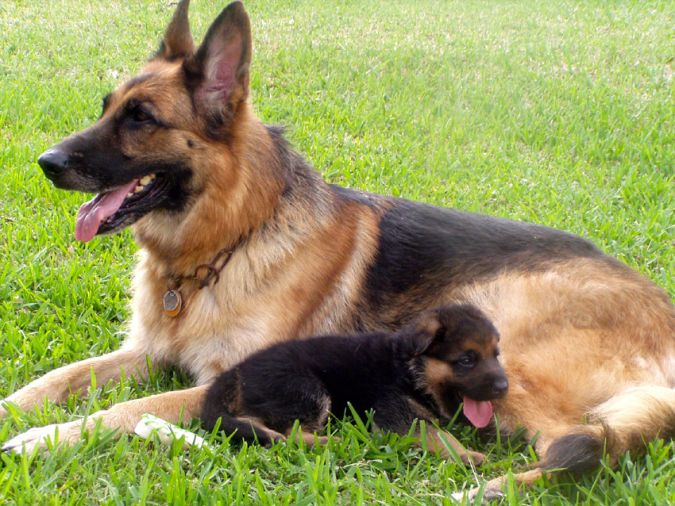 Top 10 Smartest Dog Breeds In The World Shepherd Puppies
