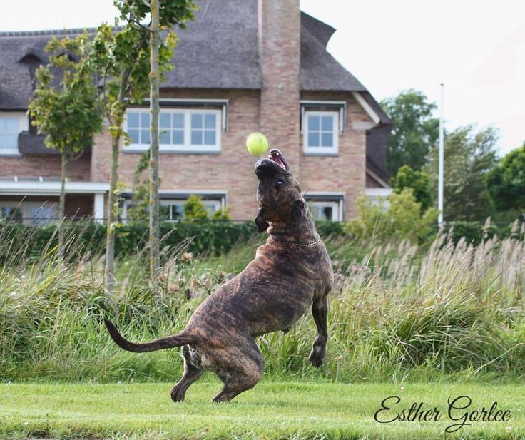 94 vind-ik-leuks, 7 reacties - My first Canon (@my_first_canon) op Instagram: 'Let's play ball 🎾🎾🎾 #photography #canon #actionshot #amstaff #dog #doglife…'