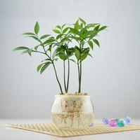 Китайский стиль бонсай горшки семена бамбука, семена вечнозеленых, офисные столы мини-горшечных зеленые растения - 5 семян