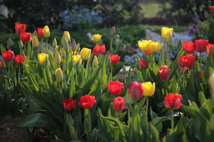 Tulipános jó reggel Több kép Katától: www.facebook.com/kiskataphotography és kiskatalive.carbonmade.com