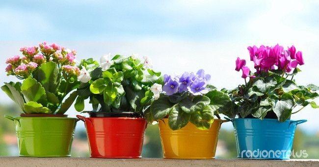 С домашними растениями в народе связано много примет и пословиц...   Плющ,например,называют «мужегоном», потому что он якобы гонит из дома мужчин. Однако растение, растущее в углах дома, избавит от…
