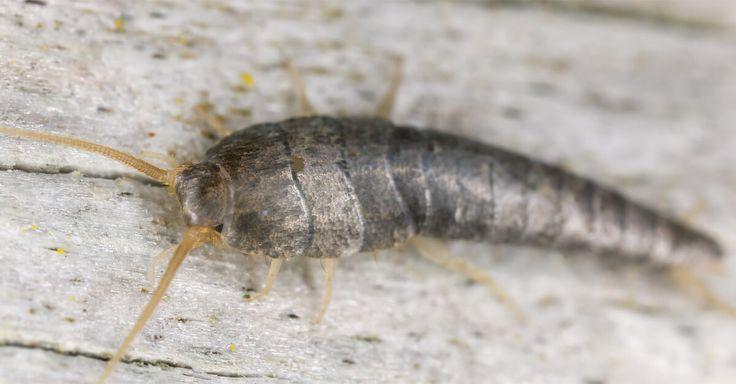 Incrível! Tratamento caseiro para eliminar a larva da roupa - # #Casa #roupa #traça #tratamentocaseiro