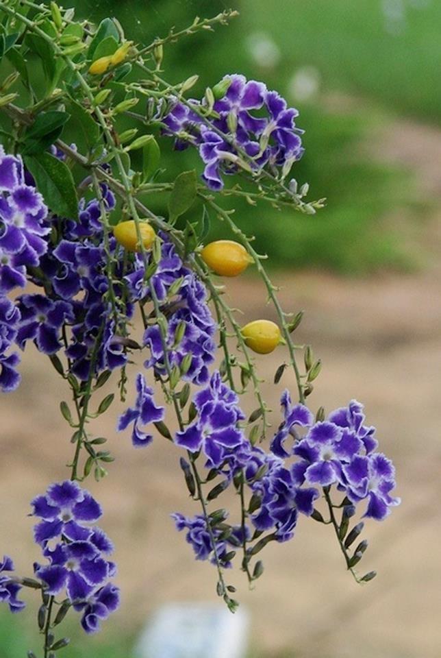 Duranta Erecta Geisha Small Purple And White Flowers Yellow Berries
