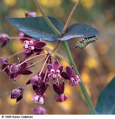 The several Milkweed species native to California are host plants for Monarchs. Monarchs migrate from the Sierra to winter on the central California coast.
