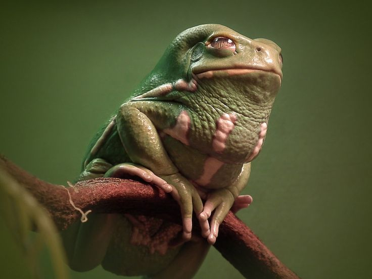 10 best images about Waxy Monkey Tree Frog (so majestic) on ...