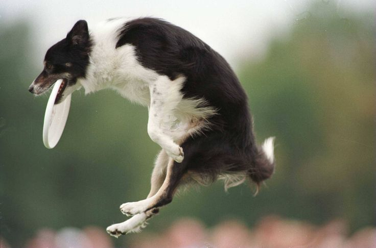 Border Collie- image found at:             http://dogs.about.com/od/sportsrecreation/tp/top_dog_sports.htm