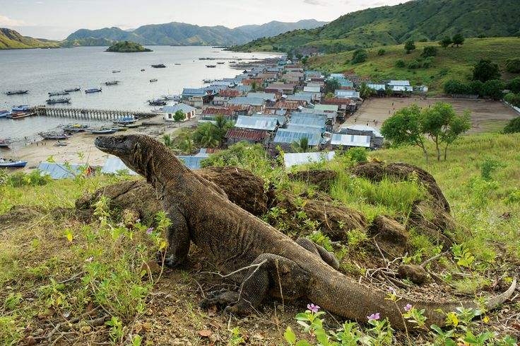Indonésie : menace sur le dragon de Komodo, le plus grand lézard au monde - National Geographic France