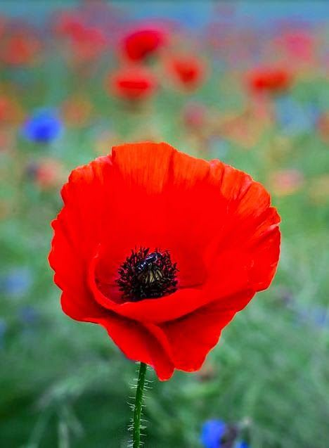 A red poppy in a beautiful wild flower meadow near Boissiere-Ecole, North France | Ben Robson Hull
