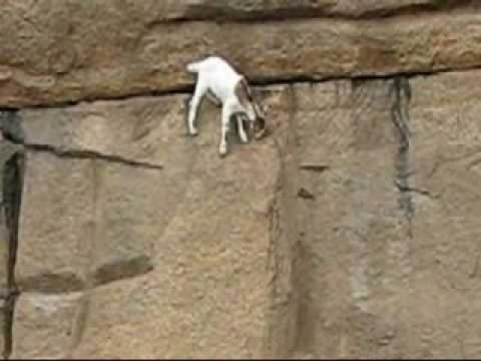 Amazing Wall Climbing Goat | funny videos | Pinterest ...