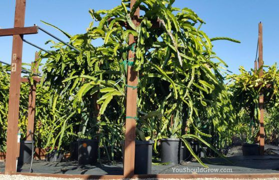 Ever wondered how to grow the exotic dragon fruit? The dragon fruit cactus is actually pretty easy to grow. Find out how to do it and get tips for success at youshouldgrow.com.