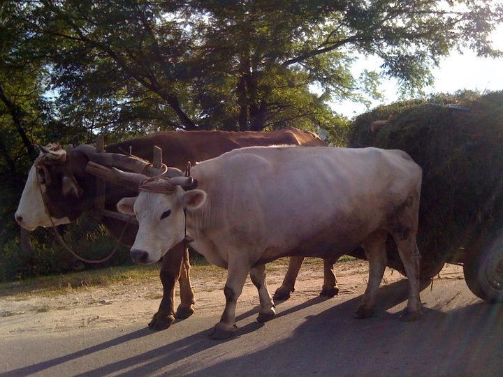 Oxen pulling cart, somewhere on the road to Pojogi
