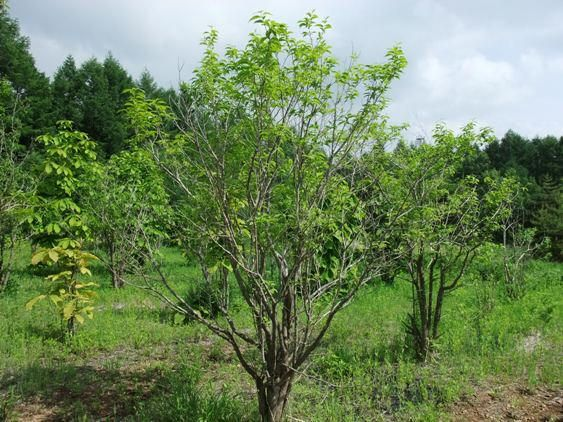 クロモジ:初春開花後葉が出る、2〜3m。落葉低木。害虫つきにくい。半日日陰の場所を好む。