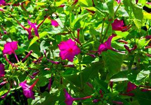 Wunderblume, Mirabilis jalapa - Pflege und Überwintern