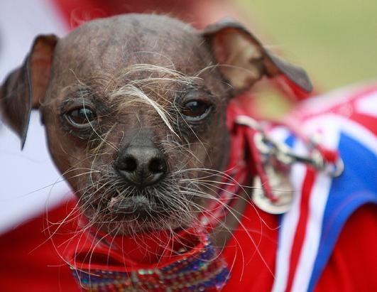 'World's Ugliest Dog' Mugly this year's winner!