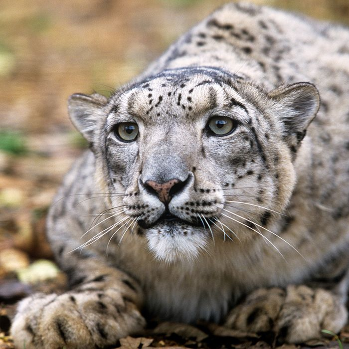 Happy #WorldWildlifeDay! This year were celebrating big cats #PredatorsUnderThreat. This includes lions tigers leopards jaguars cheetahs etc. Why the etc? In the past a species was only considered a big cat if it could roar but today scientists have broadened the definition.  Thats why now we see the inclusion of species like the pawsitively precious clouded leopard (image 2!). Unfortunately theyre all facing the same threats including loss of habitat and prey poaching and smuggling…