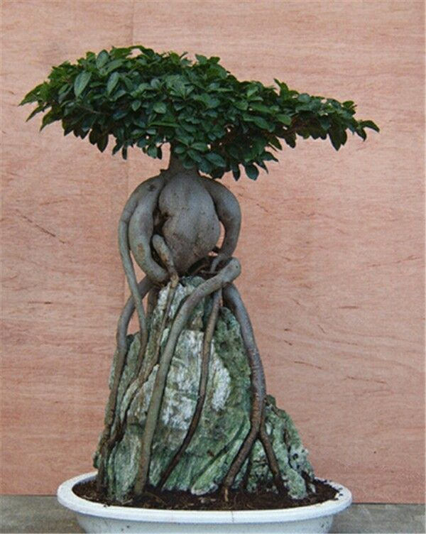 Ginseng grafted ficus over rock