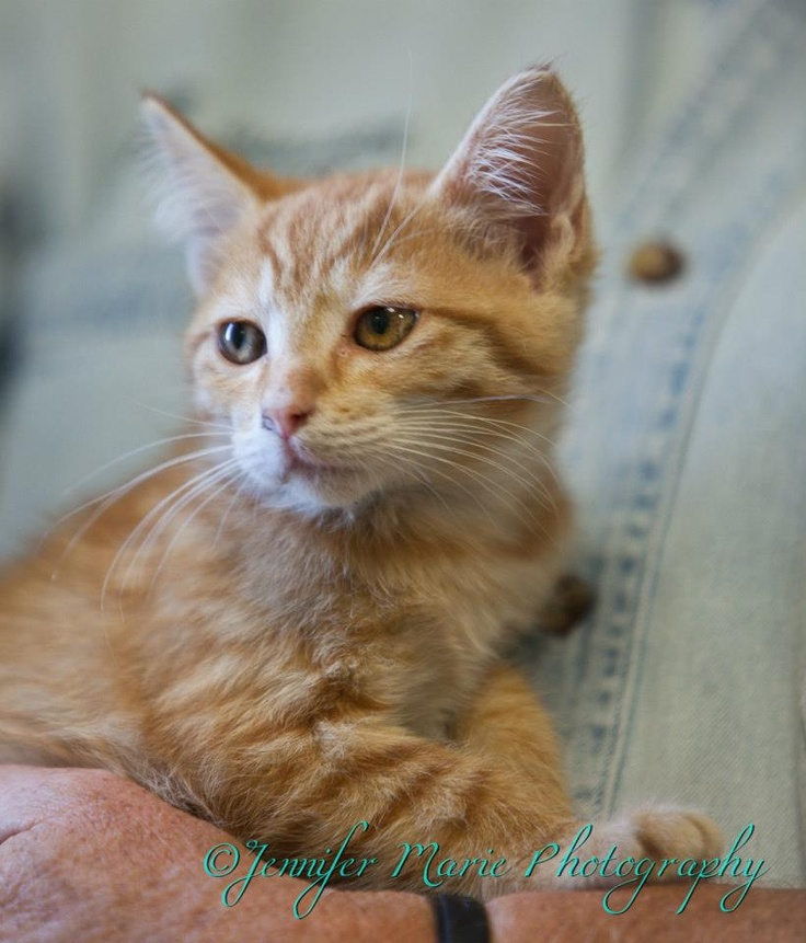 Orange Tabby kitten about 8 weeks old. Really cute and
