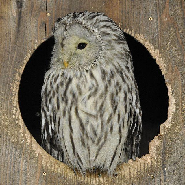 Young Ural Owl by Milan Vorisek on Flickr. Description from pinterest.com. I searched for this on bing.com/images