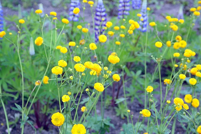 Vilde blomster.. lupiner og smørblomster..