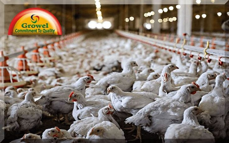 Poultry farming in winter require temperature administration in the poultry house is a critical pre-condition for better generation and well being of birds and better profit while doing poultry farming in winter. Winter season has incredible impact on poultry generation by bringing down the temperature of encompassing. Amid winter when temperature goes down and different …