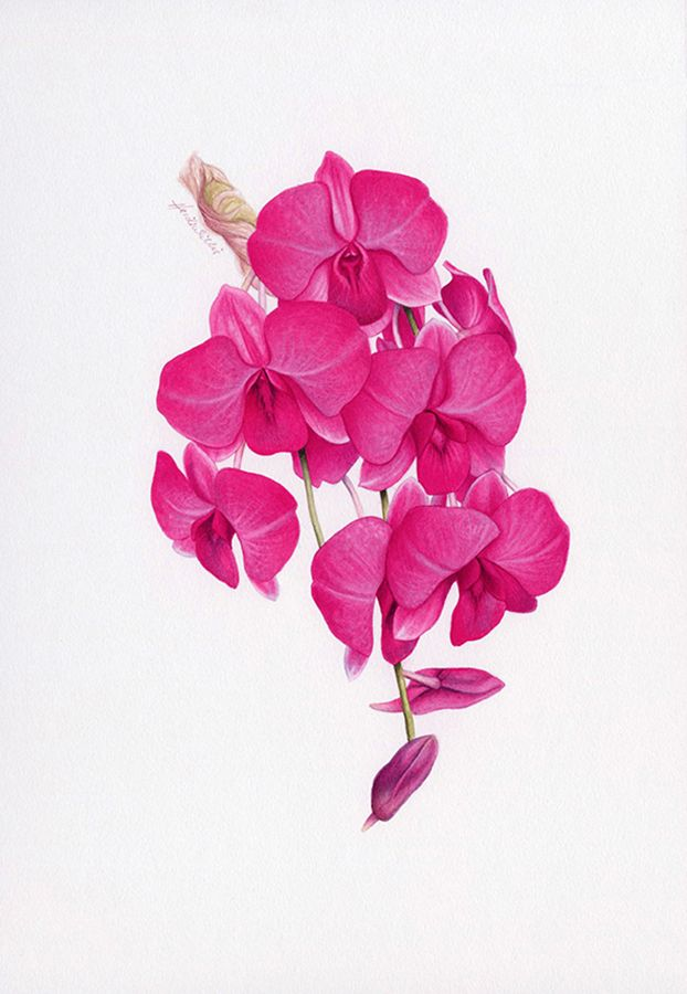 Cooktown Orchid Botanical Illustration ~ Australian Geographic Magazine Issue 130-0